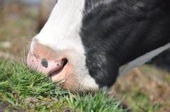 母牛` s嘴 潮湿鼻孔家养的牛 库存照片