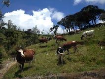 母牛` s在斯里兰卡 免版税库存图片