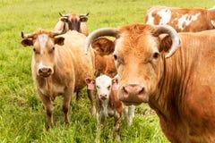母牛` s头特写镜头视图  晚上在牧场地 母牛调查透镜 库存图片