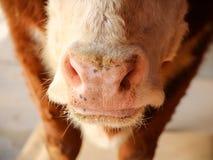 母牛` s鼻子特写镜头 免版税库存图片