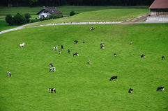 母牛gruyeres在瑞士附近成群小山 库存照片