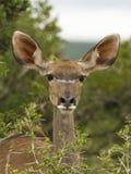 母牛kudu纵向 库存图片