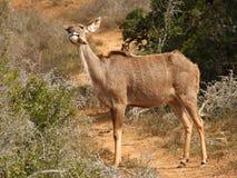 母牛kudu 免版税库存图片