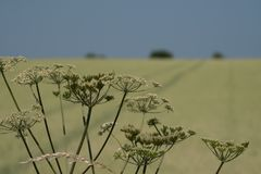 母牛parsey在前景的头状花序 麦田在背景中,与在天际和清楚的蓝天的树在英国 免版税库存图片
