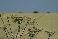 母牛parsey在前景的头状花序 麦田在背景中,与在天际和清楚的蓝天的树 免版税库存照片