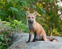 母狐狸少年红色 图库摄影