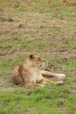 母狮子 免版税图库摄影