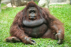 母猩猩 库存照片