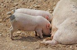 母猪牛奶喂养两头小的猪 库存图片