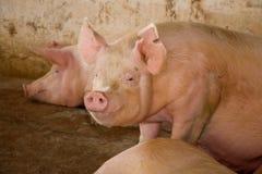 母猪 图库摄影