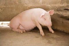 母猪 库存照片