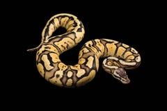 母球Python 萤火虫变体或变化 图库摄影