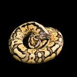 母球Python 萤火虫变体或变化 库存照片