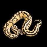 母球Python 萤火虫变体或变化 库存图片