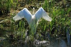 母疣鼻天鹅,与翼宽传播的Gygnus Olor在池塘在公园在春天 库存照片