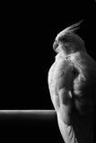 母白变种小形鹦鹉被隔绝反对黑色 库存图片