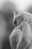 母白变种小形鹦鹉被隔绝反对黑色 库存照片