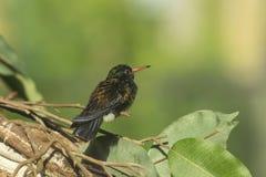 母白的chinned青玉蜂鸟 免版税图库摄影