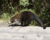 母白被引导的长鼻浣熊 库存图片
