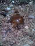 水母的 免版税库存图片