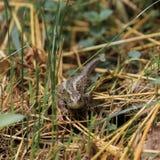 母砂蜥蜴 图库摄影