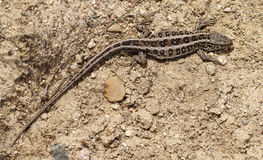 母砂蜥蜴 库存照片