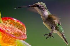 母红宝石红喉刺莺的蜂鸟伸出她的舌头在饲养者 库存图片