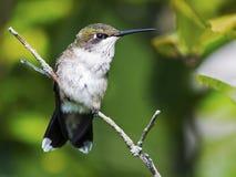 母红宝石红喉刺莺的蜂鸟 库存照片