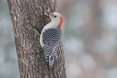 母红色腹部啄木鸟在冬天 免版税图库摄影