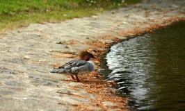 母红色Breasted秋沙鸭鸭子 免版税库存图片