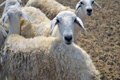 母羊农场 免版税库存照片