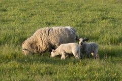母羊和两只羊羔 图库摄影