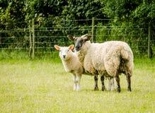 母羊和她的羊羔 图库摄影