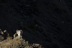 母羊和孩子打开了反对暗影 库存图片