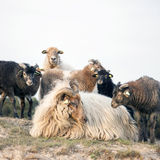母羊和羊羔在含沙小山在zeist附近在utrechtse heuvelrug 免版税库存图片