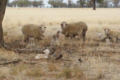 母羊和羊羔在天旱-澳大利亚 免版税库存照片