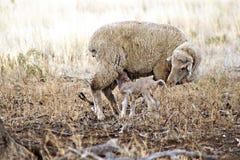 母羊和羊羔在天旱-澳大利亚 免版税图库摄影