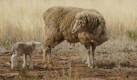 母羊和羊羔在天旱 免版税库存照片