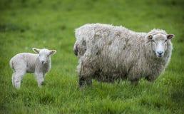 母羊和羊羔在领域 库存照片