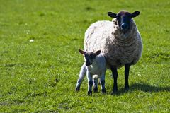 母羊她的羊羔 免版税库存图片