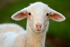 母羊年轻人 图库摄影