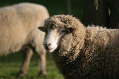 母羊日落 免版税库存图片