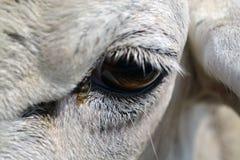 母羊眼睛 免版税库存照片