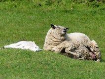 母羊绵羊和唯一羊羔在领域春天 免版税库存照片