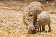 母羊羊羔绵羊 库存照片