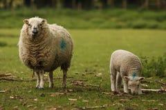 母羊羊羔绵羊 库存图片
