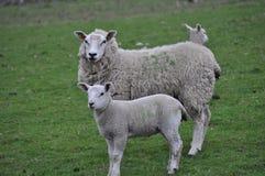 母羊羊羔 图库摄影