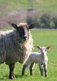 母羊羊羔 免版税库存照片