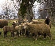 母羊羊羔tsurcana zachel 库存照片