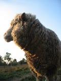 母羊美利奴绵羊 免版税库存图片